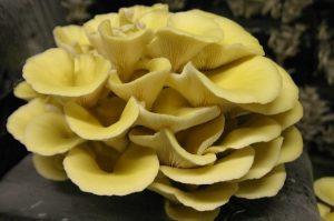 Pleurotes jaunes